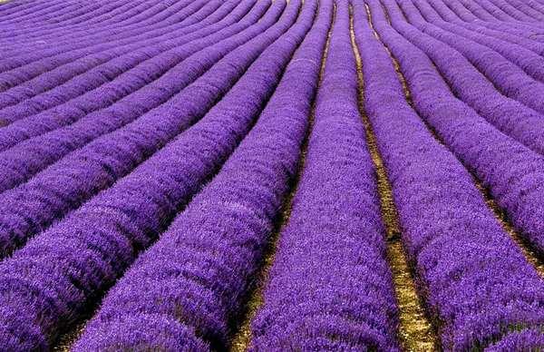 地球上秋天最美的22个风景区,法国薰衣草