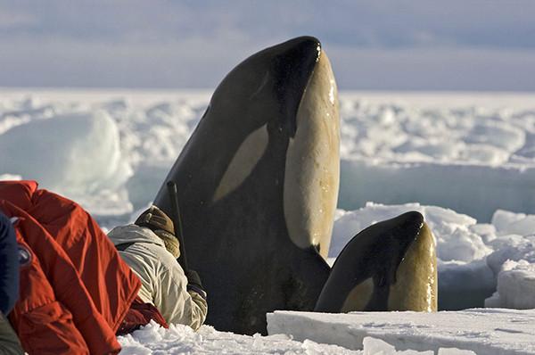 环球世界野生生物图集-南极罗思海-母子鲸鱼