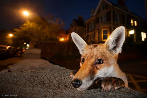 2016年野生动物摄影入围作品,狐狸