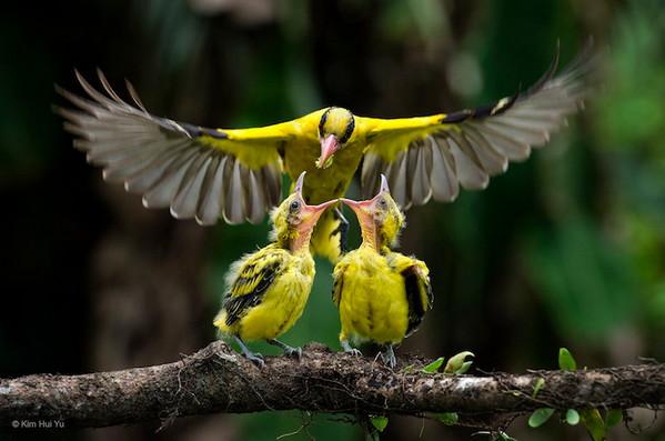 2016年野生动物摄影入围作品,黄雀