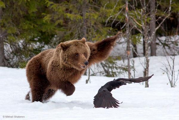 2016年野生动物摄影入围作品,棕熊