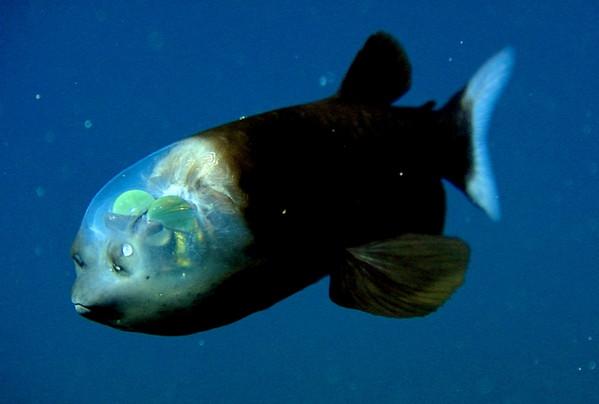 透明桶眼鱼